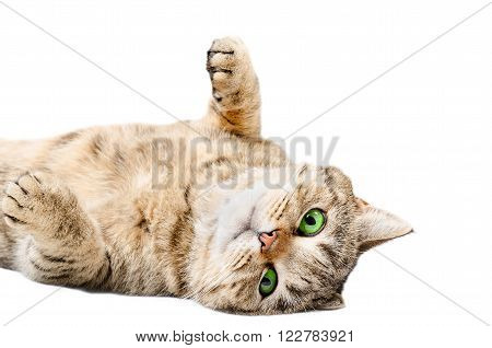 Adorable cat Scottish Straight, lying on his back, isolated on white background