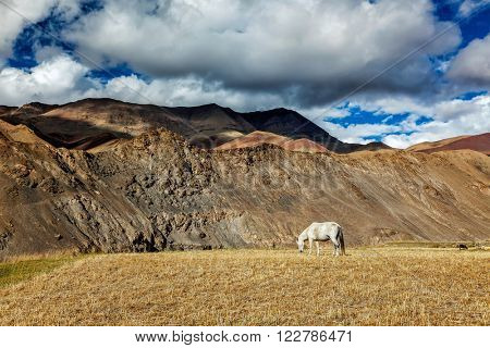 Horse grazing in Himalayas. Rupshu Valley, Ladakh, India
