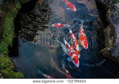 Koi Carps Fishs swimming in the pool - Japanese fishs swimming