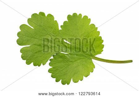 Fresh Coriander leaf coriandrum sativum also called pak chee cilantro and chinese parsley.