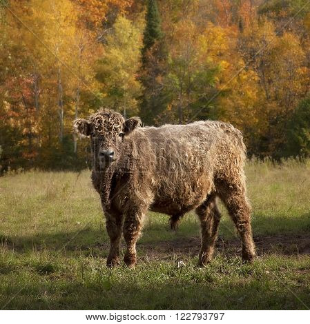 Square image of Galloway cattle steer on a beautiful autumn day.