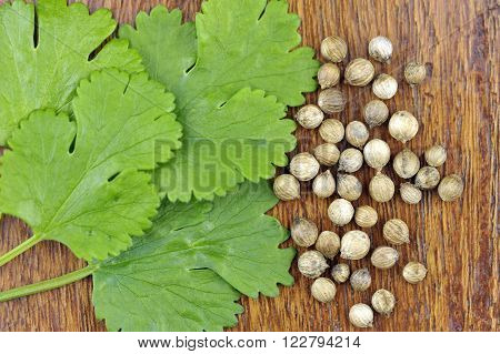Coriander leaves and seeds coriandrum sativum also called pak chee cilantro and chinese parsley.