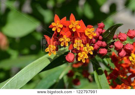 Flores naturales en forma de estrella amarillas y rojas
