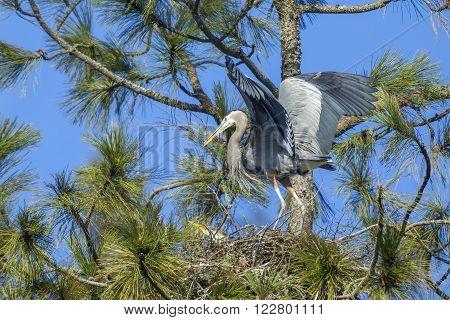 Heron carries stick in beak in the tree in Fernan, Idaho.