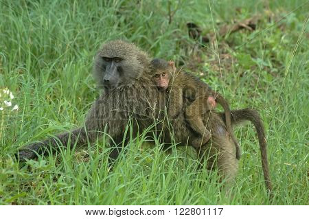 Baboon female with son  in game reserve park, Tanzania ** Note: Soft Focus at 100%, best at smaller sizes