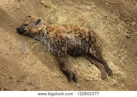 Sleeping or resting Spotted Hyena