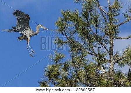 Heron flies in with stick for nest near Fernan, Idaho.