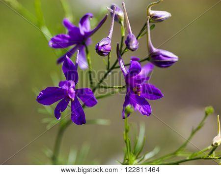 Forking larkspur (Consolida regalis) blue flowers. Close up.