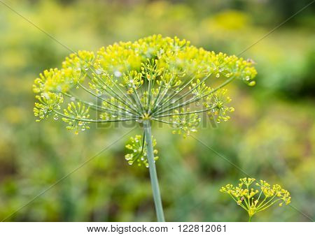 Yellow flowers of dill (Anethum graveolens) wet after the rain. Close-up.