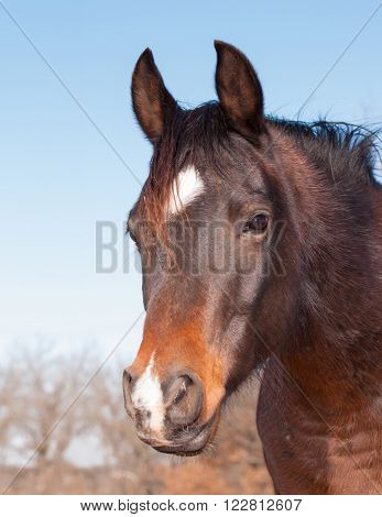 Cute dark bay Arabian horse looking to the left of the viewer with a sweet expression in his eyes