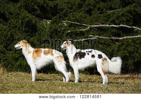 Two giant Borzoi sight-hounds against a forrest background