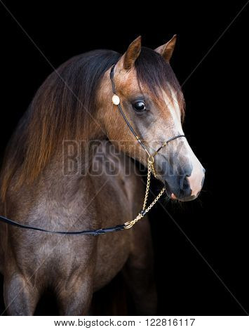 Arabian young horse isolated on black background
