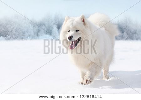 Beautiful white Samoyed dog running on snow in winter day