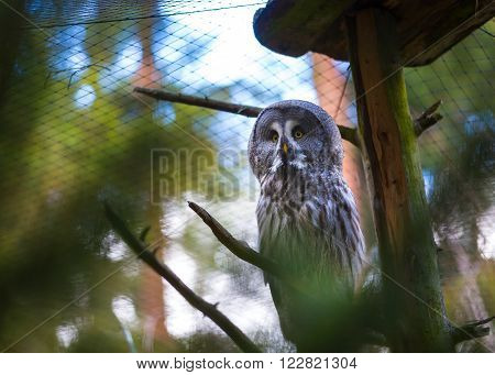 Beatiful Great Grey Owl (Strix nebulosa) portrait. Owl photographed in animal park