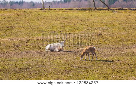 Chinese deer - David's Deer (Elaphurus davidianus) photographed in animal park