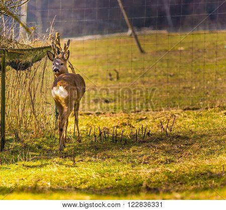 Roe deer portrait. Beautiful european deer portrait.