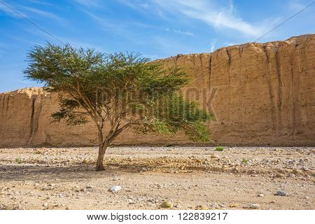 Wood Acacia / Acacia gerrardii / in the Black Canyon. The stone desert in mountains of Eilat, Israel