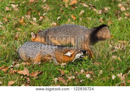 Grey Fox (Urocyon cinereoargenteus) Snarls at Another - captive animals