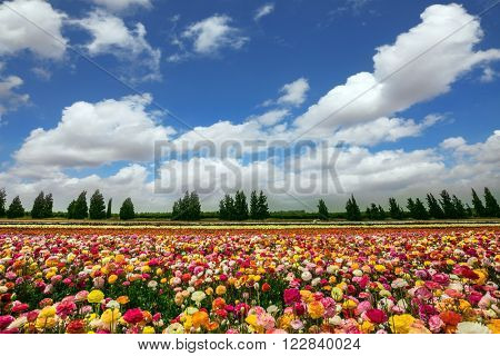 Flower kibbutz on the border with the Gaza Strip. Spring flowering buttercups. The magnificent flower carpet of colorful garden buttercups