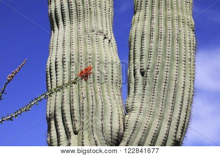 Spring red flowers and giant saguaro cactus in the southwestern USA