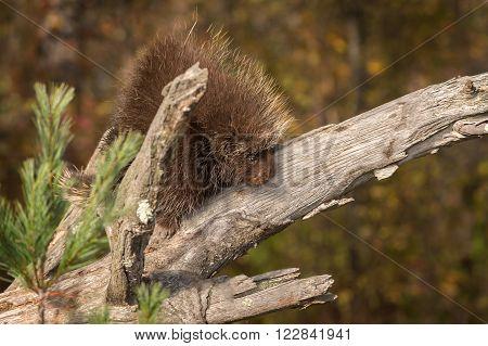 Porcupine (Erethizon dorsatum) Looks Down - captive animal