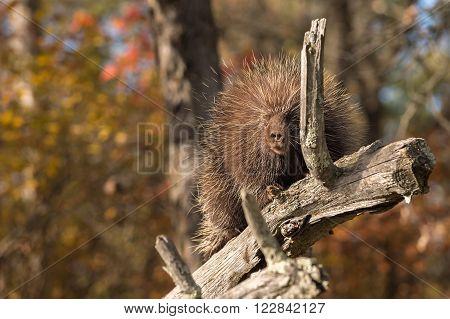 Porcupine (Erethizon dorsatum) Behind Branch - captive animal