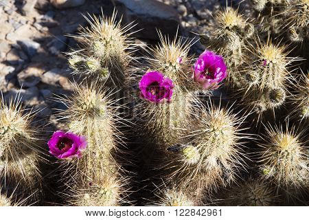 Beautiful spring flowering Crimson Hedgehog cactus in the southwestern desert