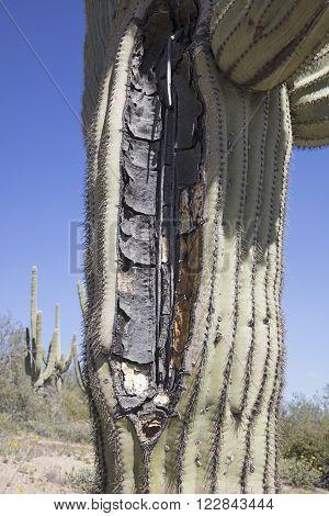 A giant Saguaro cactus split open possibly by a lightning strike