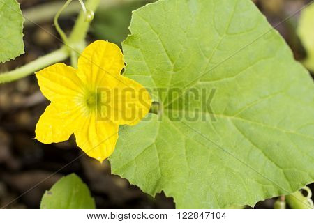 Bright yellow melon flower and green leaf