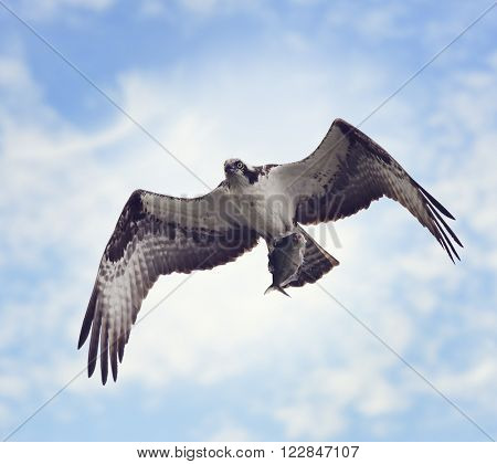 Osprey with Fish Against the Blue Sky