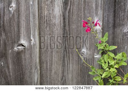 Vivid red cherry sage flower in front of wooden wall