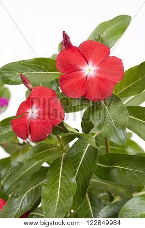 Vivid pink madagascar periwinkle flowers in vertical composition