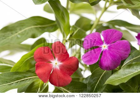 Adjacently of pink and red madagascar periwinkle flowers