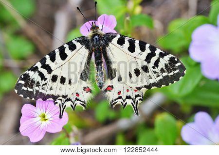 Allancastria cerisyi, Eastern Festoon butterfly on a flower in Dilek national park, Turkey. Selective focus on the butterfly