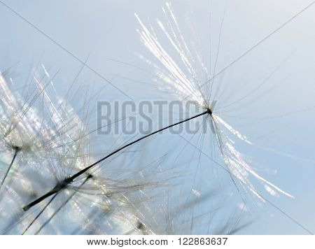 Closeup of blowball on sunny day in spring