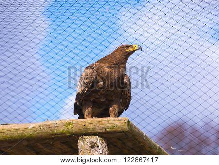Portrait of steppe eagle taken in animal park