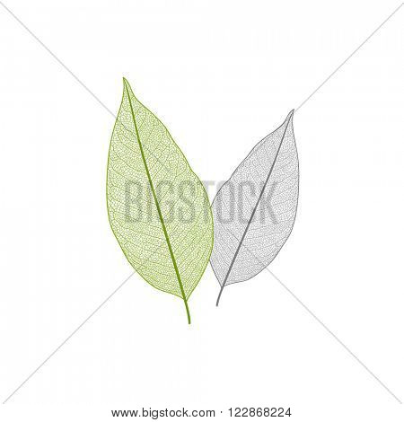 Isolated green and yellow leaf with veins.
