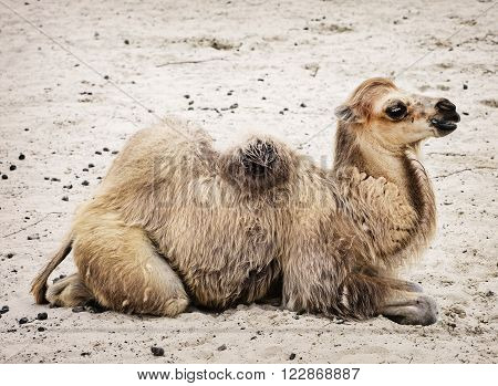 Young Bactrian camel - Camelus bactrianus. Profile portrait. Animal scene.