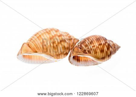 Two Helmet Sea Shells - Galeodea Echinophora. Empty House Of Sea Snail.