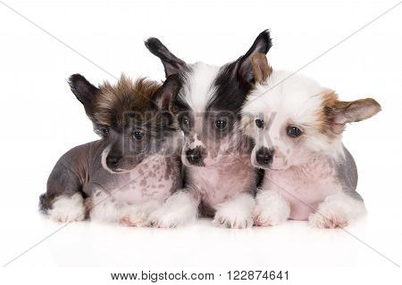 three adorable chinese crested puppies together on white