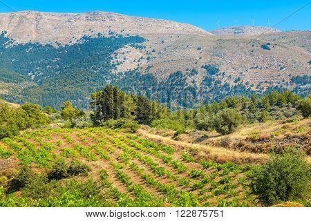 Growing vines in the vineyard. Rhodes Dodecanese islands Greece