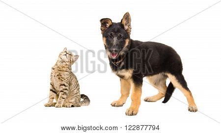 Curious cat Scottish Straight and German Shepherd puppy isolated on white background