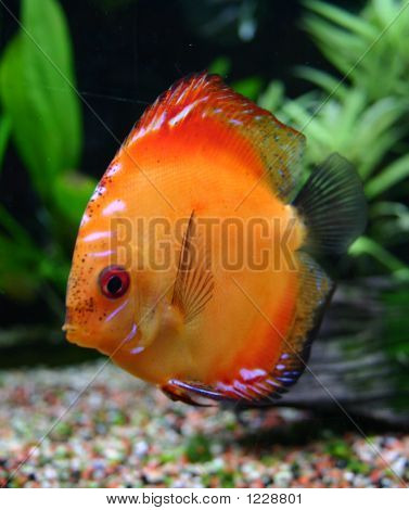 Beautiful Discus
