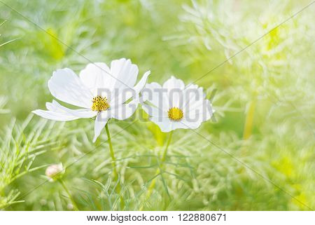 White cosmos flowers in blooming in agriculture with blur background The cosmos flowers beautiful cosmos flowers with soft lighting sun.