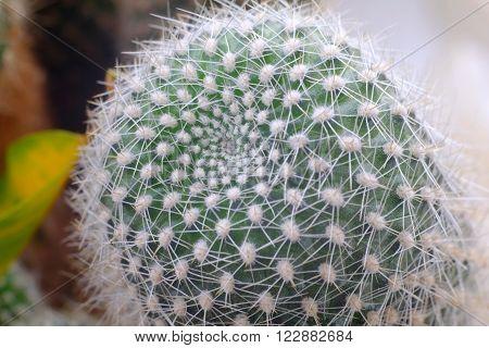Cactus Needles, Cacti