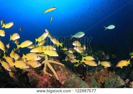 Snappers fish on underwater coral reef