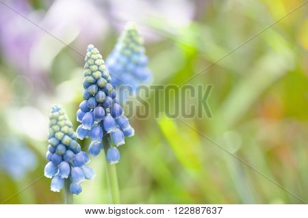 Muscari Armeniacum. Bulbous Plant Violet, Small Blue Flowers Plant. Soft Focus, Copy Space