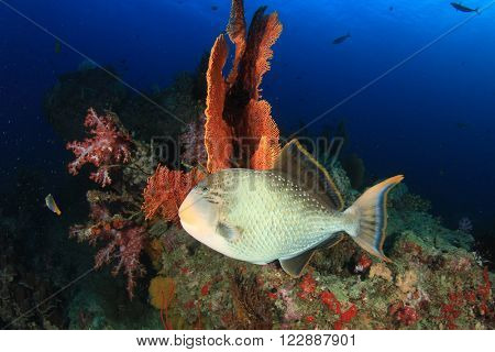 Triggerfish on coral reef