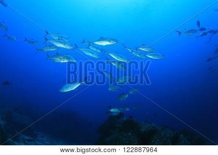 School of Bigeye Trevally fish in ocean