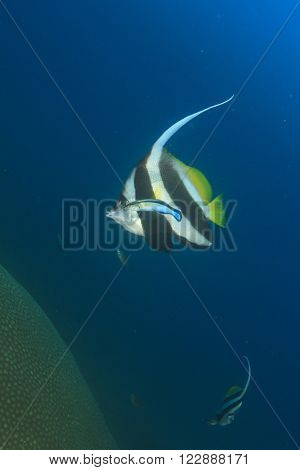 Tropical fish: Longfin Bannerfish